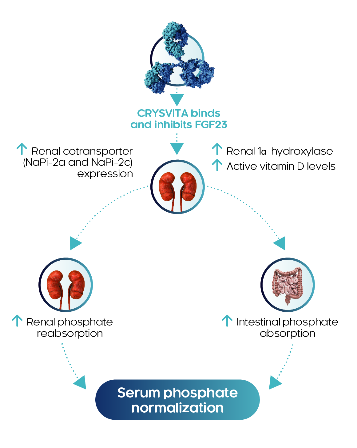 CRYSVITA leads to normalized serum phosphate levels.