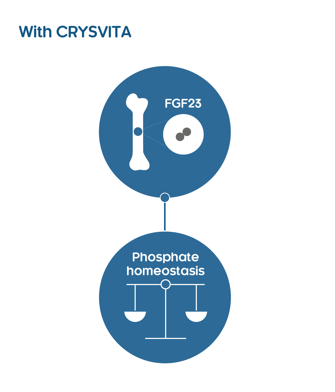 CRYSVITA binds and inhibits FGF23, restoring phosphate homeostasis.