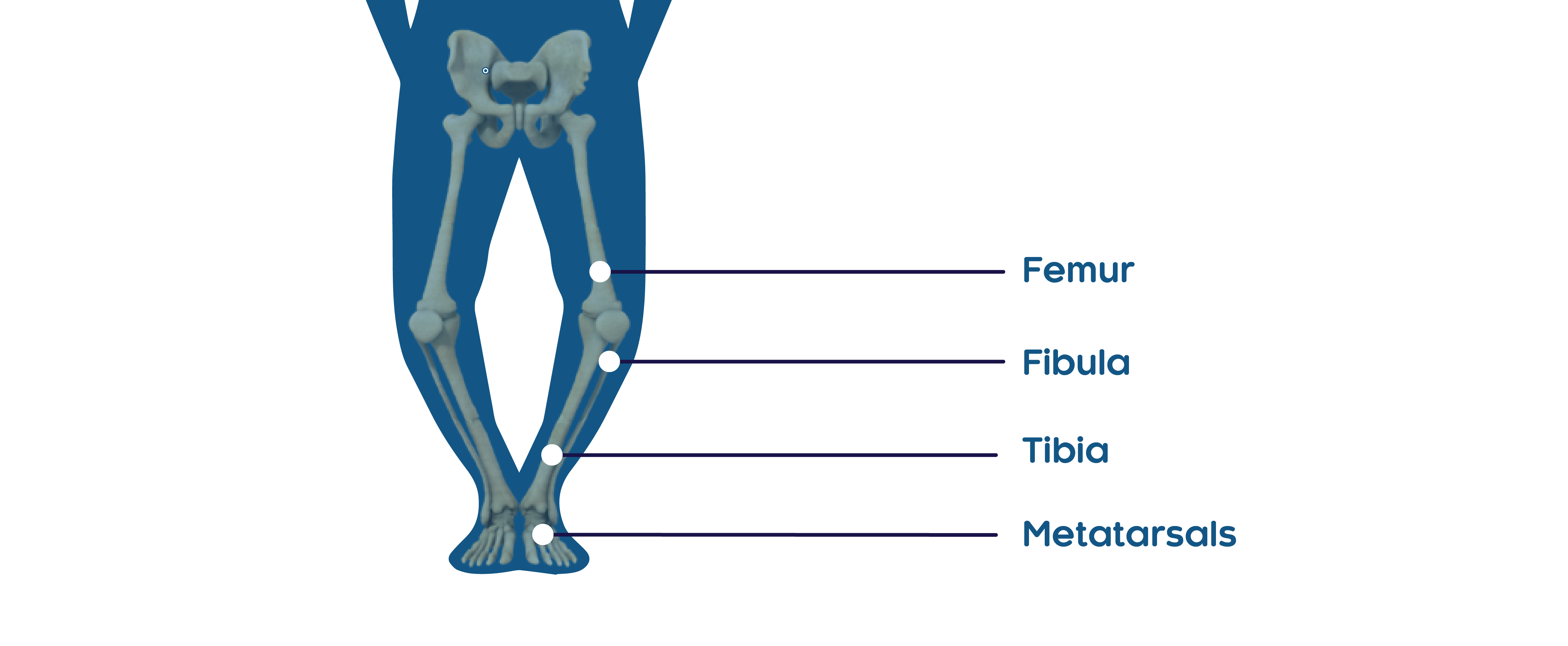 In Study 3, fractures were predominantly located in the femur, tibia/fibula, and metatarsals